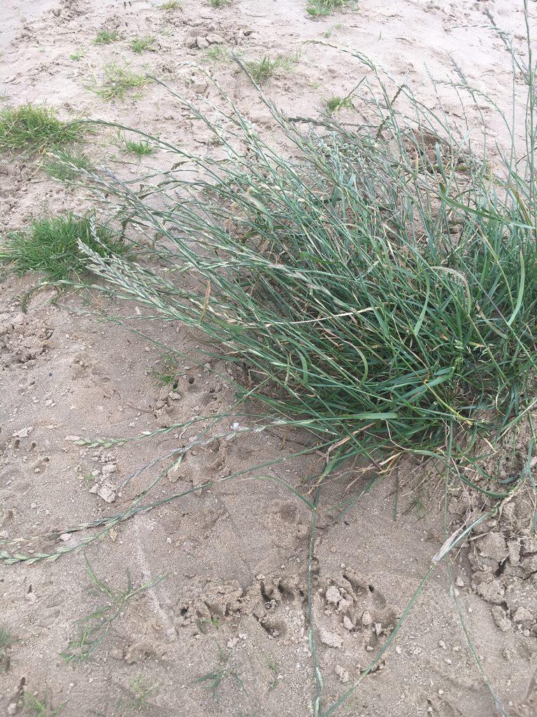 Ryegrass (Lolium perenne)