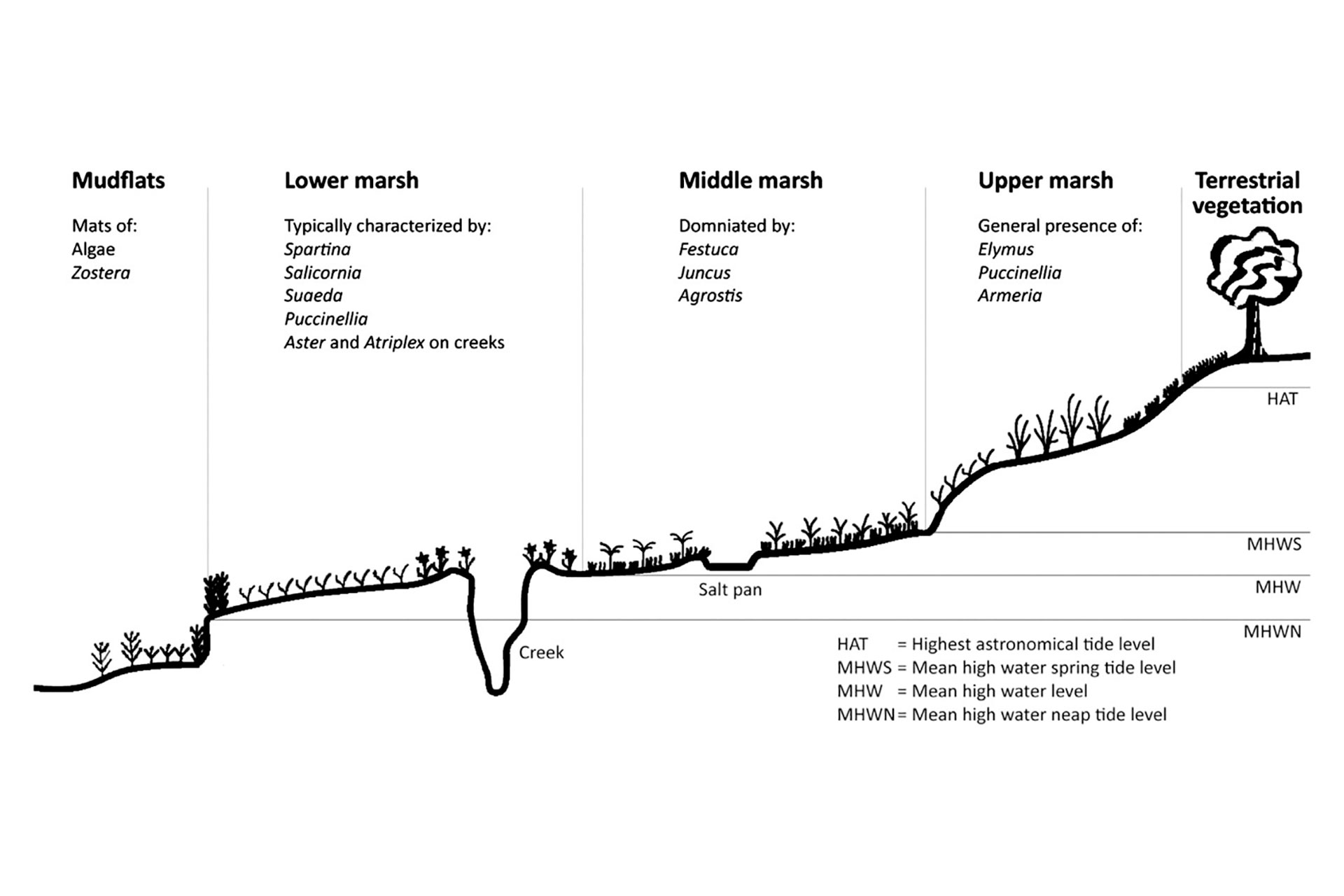 Indicative UK intertidal mudflat and saltmarsh profile. Adapted from Foster et al. (2013). Tides: HAT: highest astronomical tides; MHWS: mean high water springs; MHW: mean high water; MHWN: mean high water neaps.