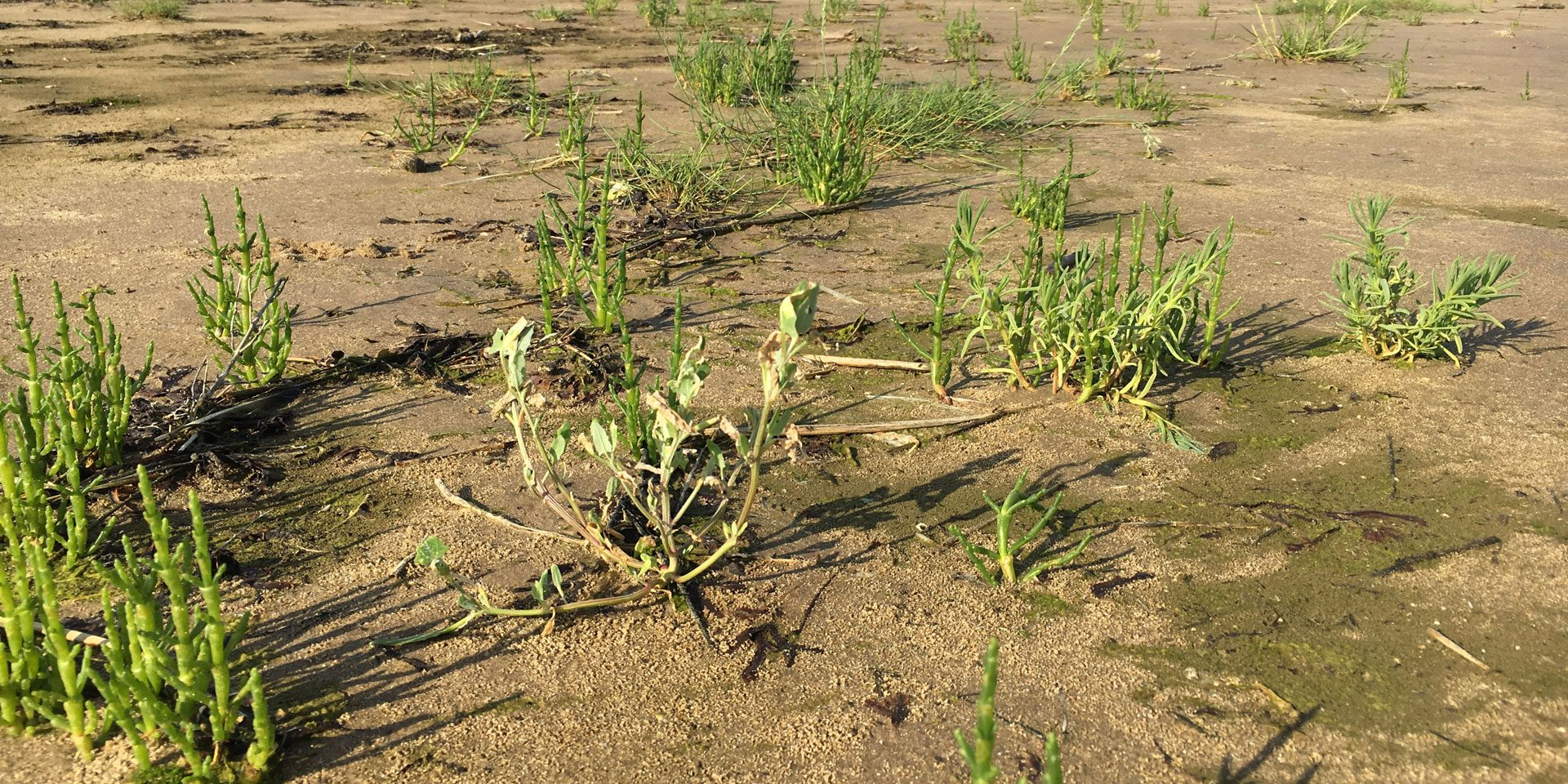 July 2019: An extensive Samphire bed at Hoylake, killed a week later with glyphosate spraying.